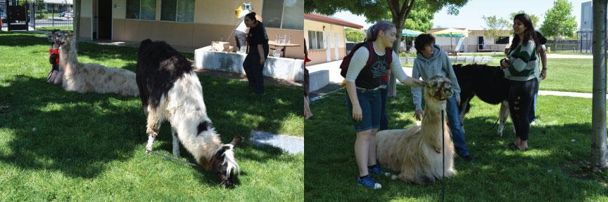Students pet llamas at VHS